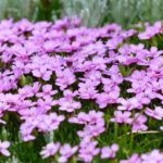SILENE - Catchfly, Annual Flower Information