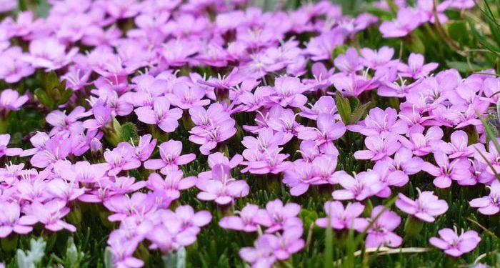 SILENE - Catchfly, Annual Flower Information