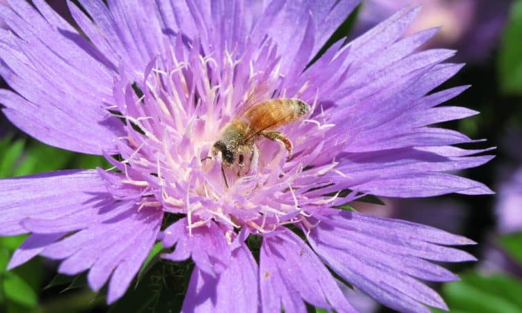 Stokesia - Stokes  Aster, Cornflower Aster, Perennials Guide to Planting Flowers