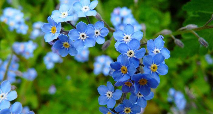 Summer Forget-me-not, Perennials Guide to Planting Flowers