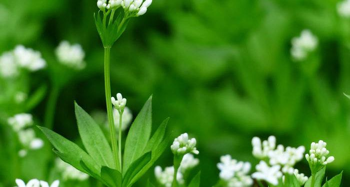 Sweet Woodruff, Perennials Guide to Planting Flowers