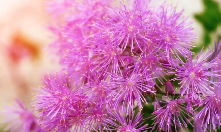 Thalictrum - Meadow Rue, Feathered Columbine, Perennials Guide to Planting Flowers