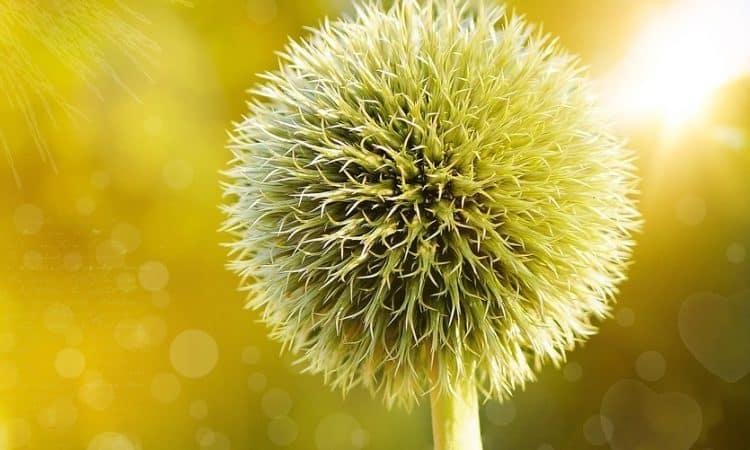 Trollius - Globe  Flower, Perennials Guide to Planting Flowers