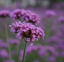VERBENA  - Annual Flower Information