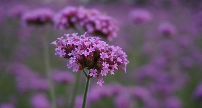 VERBENA  - Annual Flower Information