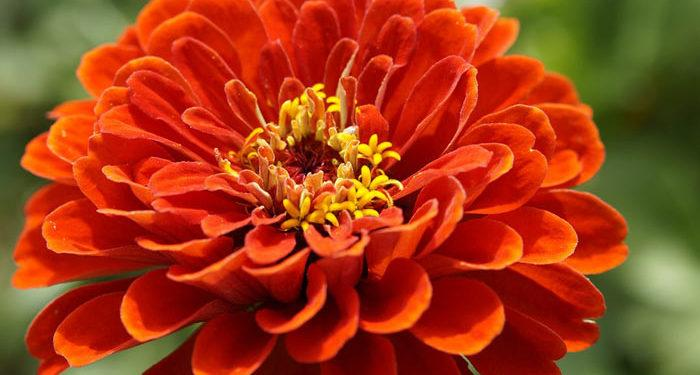 ZINNIA - Annual Flower Information