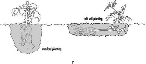Tomato Planting