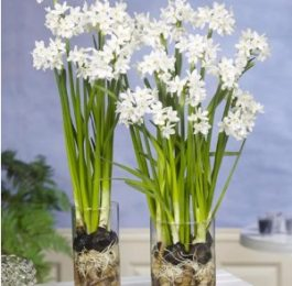In Praise Of Paperwhites