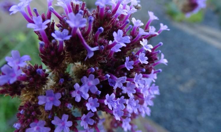September gardening Verbena