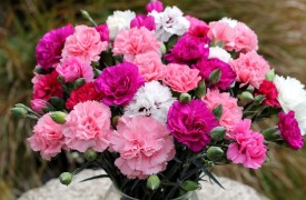 Growing Pink Carnation and Dianthus