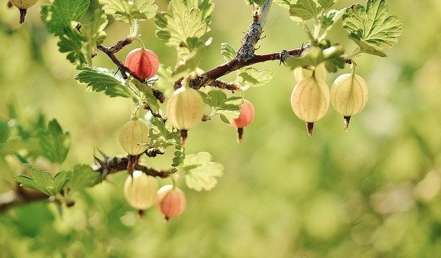 Gooseberry - Growing and Harvesting