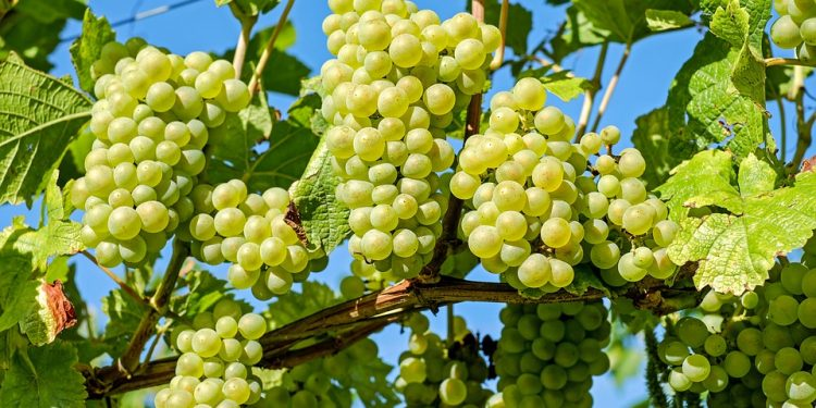 Growing Grapes - Care of Grape Vines