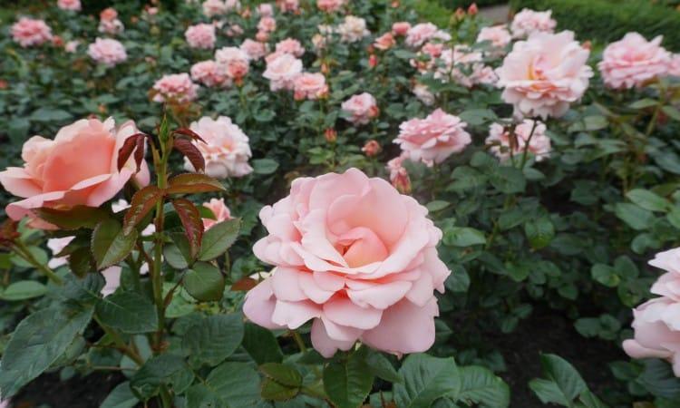 Pint Rose garden