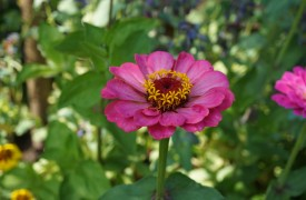 Pink annual flower