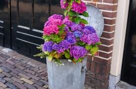 hydrangea flower pot