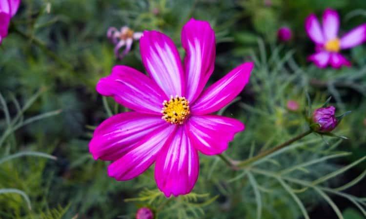 Pyrethrum pink daisy perennials guide to planting flowers perennial flower information mightylinksfo