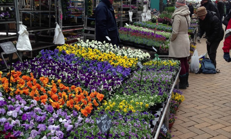 Annual flowers for sale in Holland