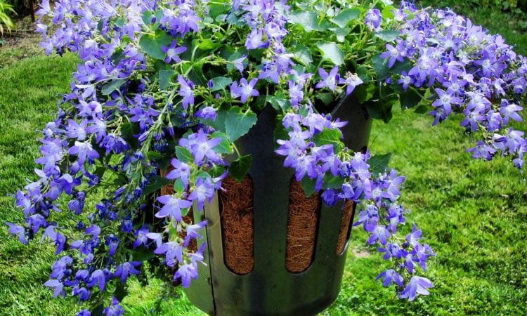 Blue flowers in a container