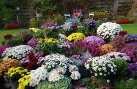 Fall mums flowers