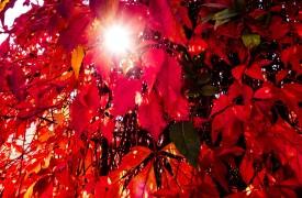 Fall Vine color