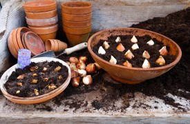 Planting bulbs in a container