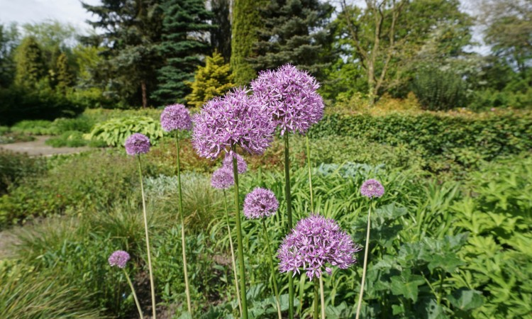 Allium bulbs in a garden