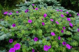 Perennial garden Geranium