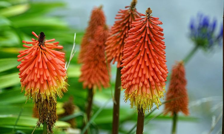Kniphofia  ( Red-hot Poker )