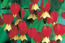 Abutilon megapotamicum  ( Trailing Abutilon )
