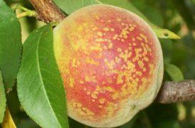Bacterial Spot (Peaches)