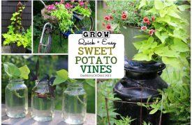Growing Sweet Potato Sweet Potato Vines