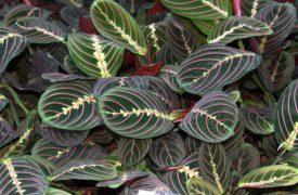 Maranta - Arrowroot Plant