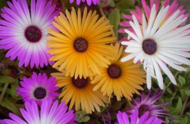 MESEMBRYANTHEMUM . Iceplant or Figmarigold, Annual Flower Information