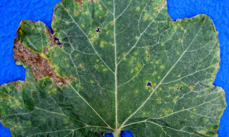 Alternaria Leaf Blight (Cucurbits)