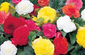 Begonia - Summer and Winter flowering