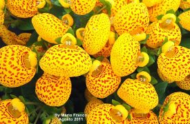 Growing Calceolaria (Calceloa'ria) - Plant information