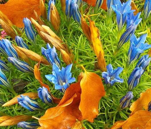 Gentiana - Gentian, Perennials Guide to Planting Flowers