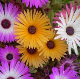 MESEMBRYANTHEMUM . Iceplant or Figmarigold, Annual Flower Information