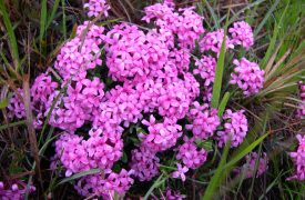 Daphne Garland Flower, Perennials Guide to Planting Flowers