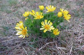 Adonis - Birdseye, Pheasant's Eye, Perennials Guide to Planting Flowers