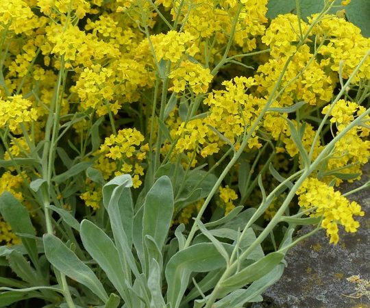 Alyssum - Madwort, Basket of Gold, Perennials Guide to Planting Flowers