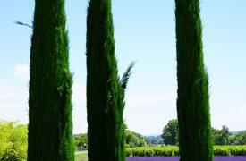 Columnar or Fastigiate trees