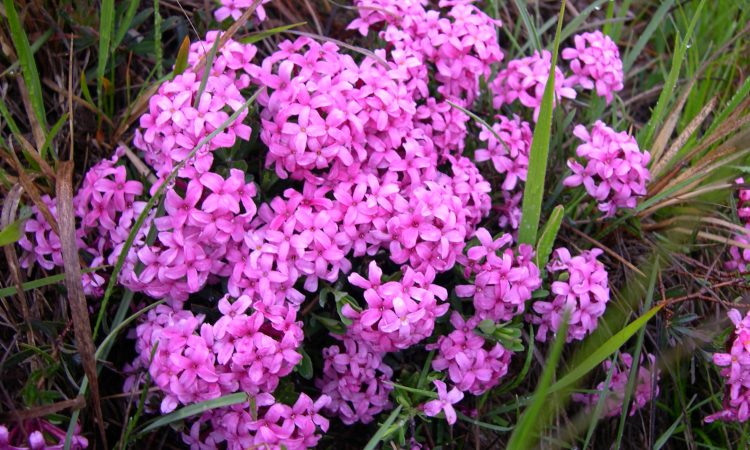 Daphne Garland Flower, Perennials Guide to Planting Flowers