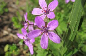 Erodium - Perennial Plant, How to grow