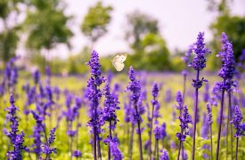 Salvia - Sage, Perennials Guide to Planting Flowers
