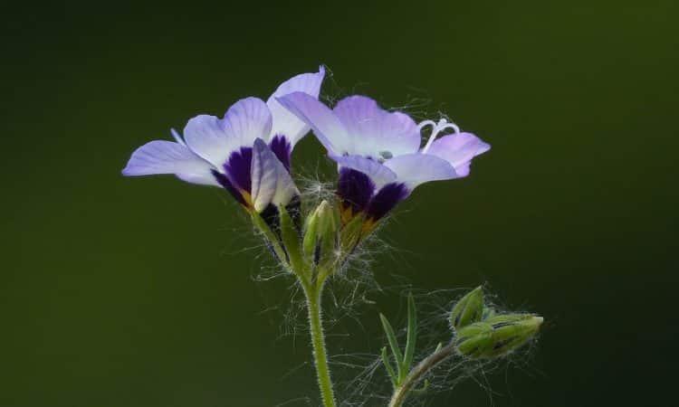 GILIA, Annual Flower Information