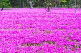 Phlox - Perennial Plant, How to grow