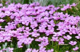 Silene - Perennial Plant, How to grow