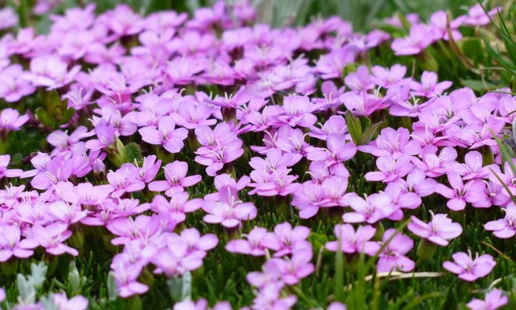 Silene - Perennial Plant, How to grow