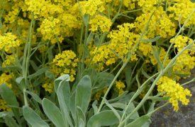 Alyssum - Madwort, Basket of Gold, Perennials Guide to Planting Flowers